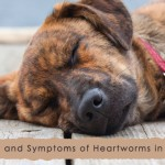 Signs and Symptoms of Heartworms in Dogs-BVC