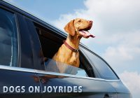 Dog's On Joyrides with Head Out of The Car Window