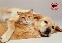 Flea Infestation In Pets