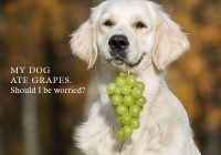 A dog with bunch of grapes