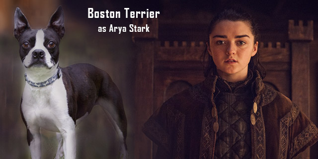 Boston-Terrier-as-Arya-Stark