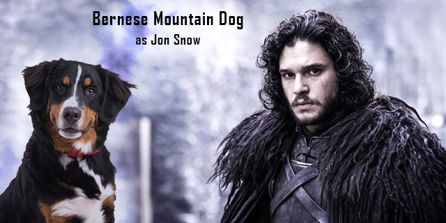Bernese-Mountain-Dog-as-Jon-Snow