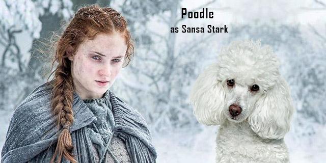 Poodle-as-Sansa-Stark