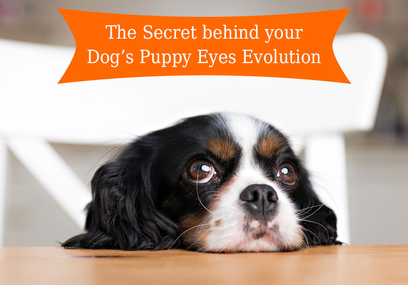 The Secret behind your Dog's Puppy Eyes Evolution
