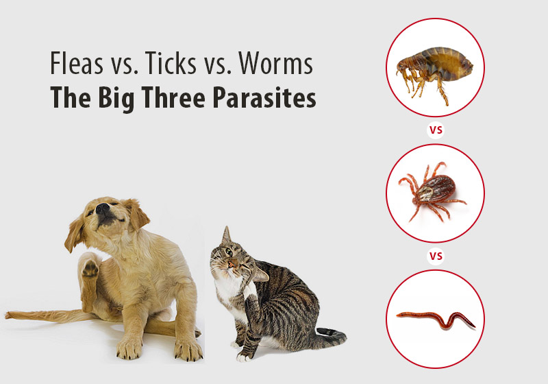Fleas vs. Ticks vs. Worms: The Big Three Parasites
