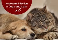 Hookworms infections in dogs and cats